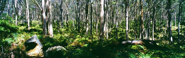 Eucalptus Forest