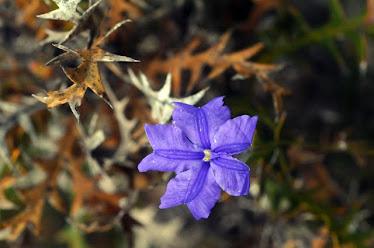 Blue Lechenaultia - Lechenaultia biloba