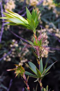 Leucopogon verticilliatus