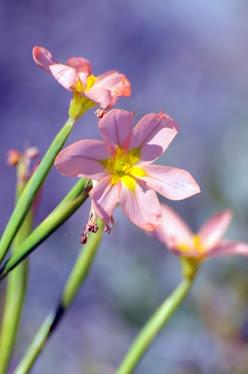 Rottnest Island Wildflower #57