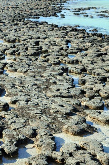 Stromatilites, Hamelin Pool #255
