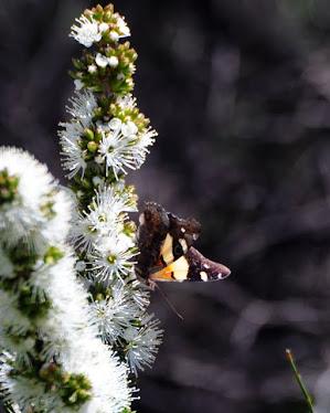 Australian Butterfly #94