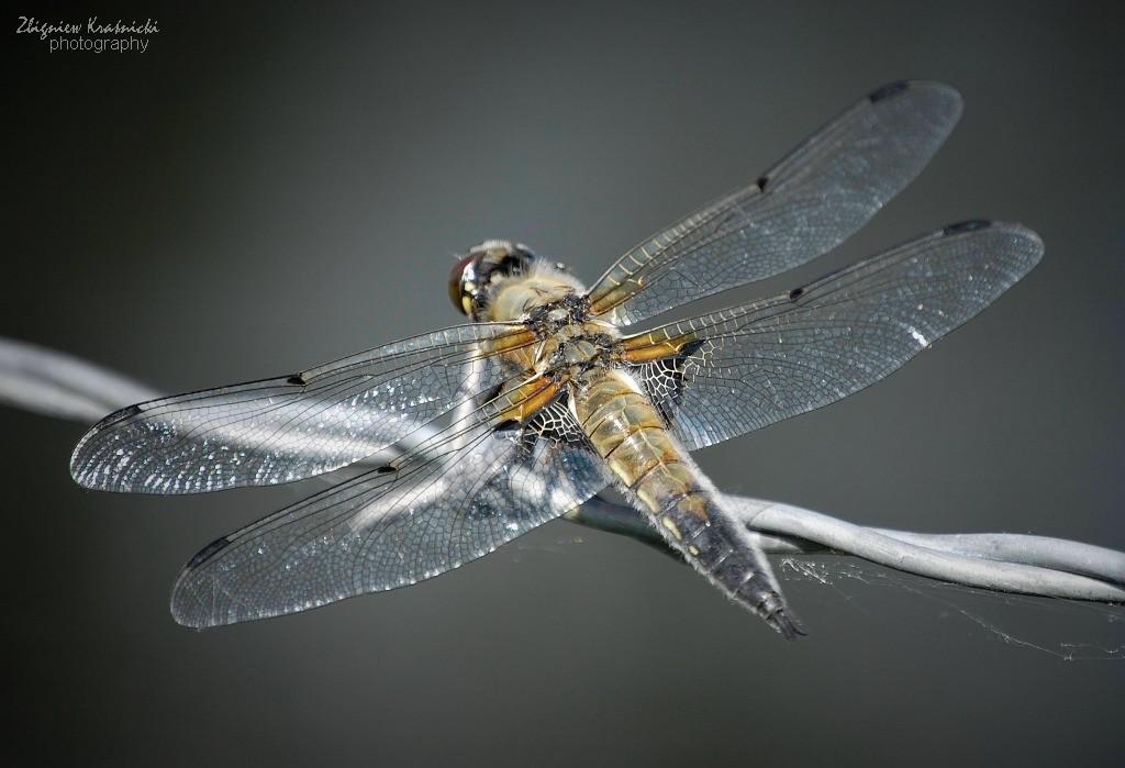 Ważka czteroplama - Libellula quadrimaculata