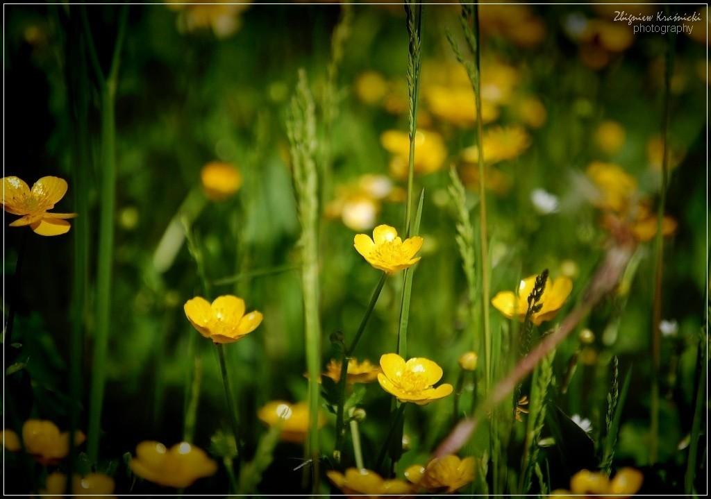 W deszczu maleńkich żółtych kwiatów