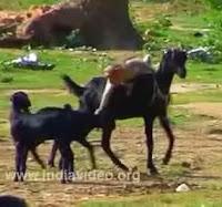 mono cabra rodeo