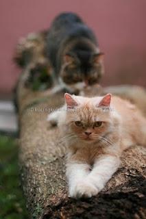 kucing penyayang, pasangan kucing