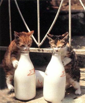 Kalau kucing yang ini lebih memilih meminum susu sapi y