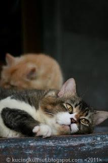 memilih kandang kucing, kandang kucing indoor, kandang kucing outdoor, tempat tidur kucing, rumah kucing
