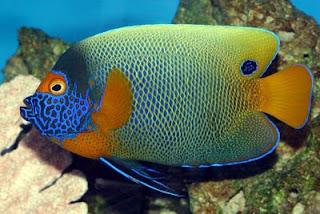 Beberapa jenis ikan air laut:
