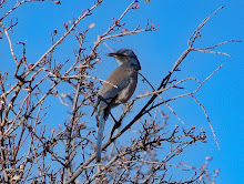 Scrubjay in our neighborhood