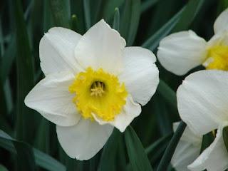 Beautiful daffodil field at the Choo Choo