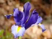Gorgeous iris.
