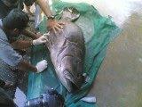 Ini adalah Ikan Kerapu Kertang dlm 30kg.