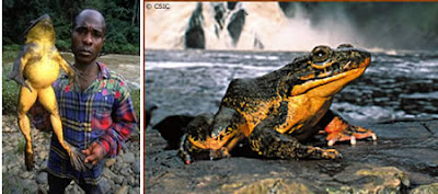 [Image: a96745_biggest-frog.jpg]