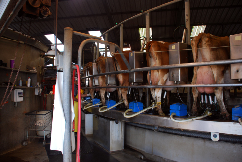 cows produce a lot of milk