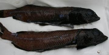 pesci abissali