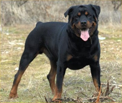 ���� ����� ����� ����� ����� ����� ��������� ����� Rottweiler-picture.j