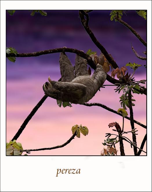 bradypus variegatus flaccidus