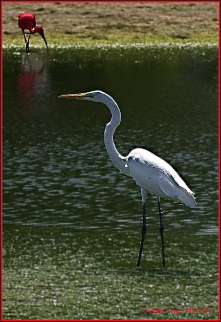 royal heron