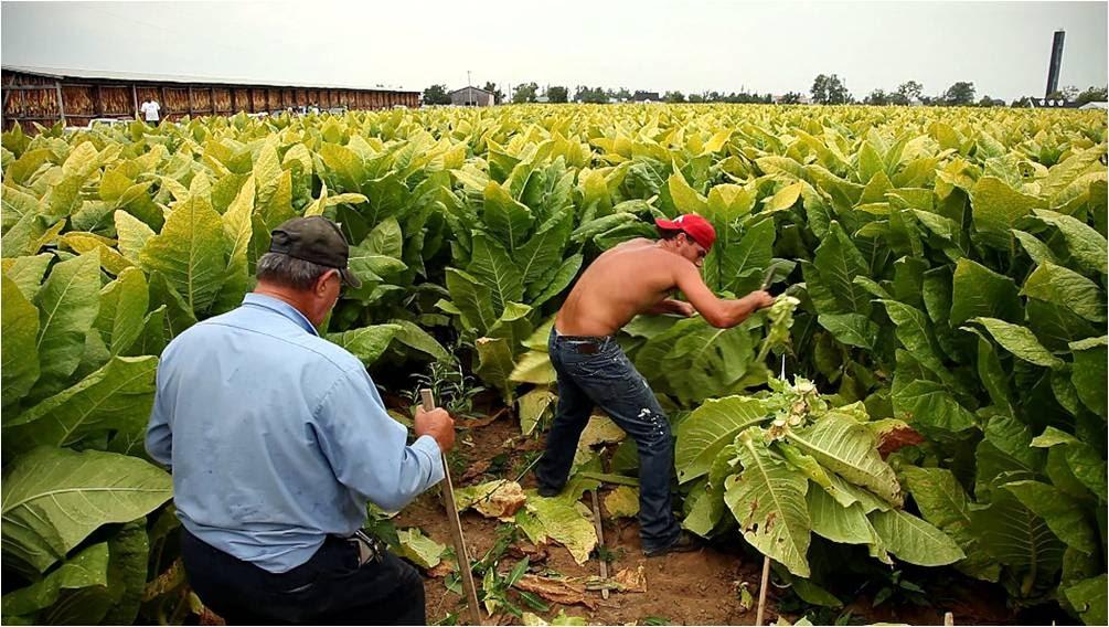 Что делать с табаком после выращивания 4