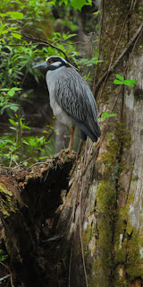 Yellow-crowned Night Heron at Audubon's Francis Beidler Forest by Mark Musselman