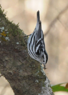 Black-and-white Warbler at Audubon's Francis Beidler Forest by Mark Musselman