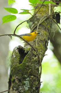 Male Prothonotary Warbler at nest along boardwalk at Audubon's Francis Beidler Forest by Mark Musselman