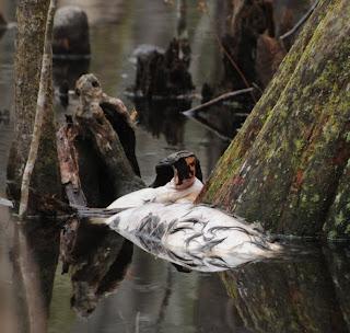 Dead deer at Audubon's Francis Beidler Forest by Mark Musselman