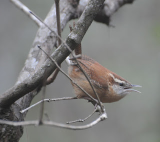 Carolina Wren at Audubon's Francis Beidler Forest by Mark Musselman