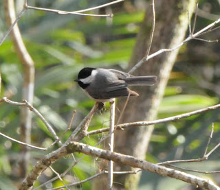 Carolina Chickadee at Audubon's Francis Beidler Forest by Mark Musselman