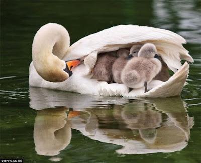 Amor de madre. Cisne