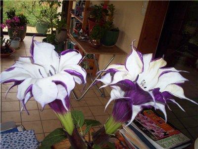 цветы дурман фото: