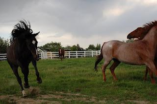 Frisky black horse
