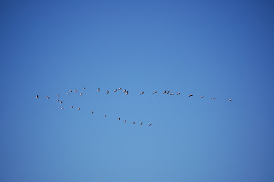 Pelicans in flight at Snake River Canyon