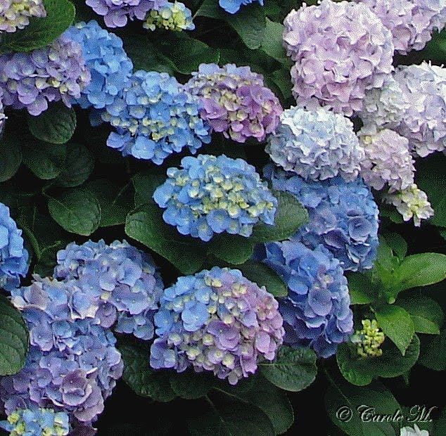 how to grow hydrangeas australia