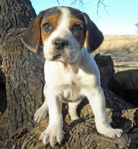 American Foxhound Dog Puppy