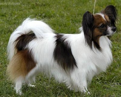 ... Color: Papilon Breed Standard | Papilon Toy Dog | Dog Breeds Index