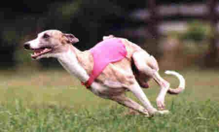 Italian Greyhound Running | Dog Breeds Index