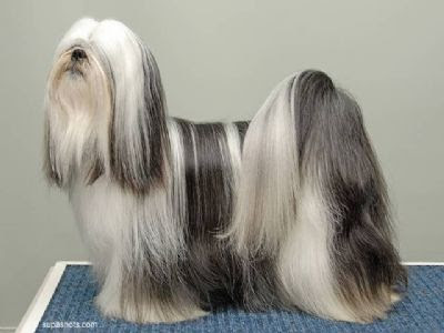 Lhasa Apso Best in Show Champion | Dog Breeds Index