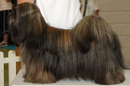 Lhasa Apso Show Dogs
