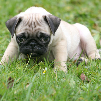 Puppies on Cute Pug Puppy   Dog Breeds Index