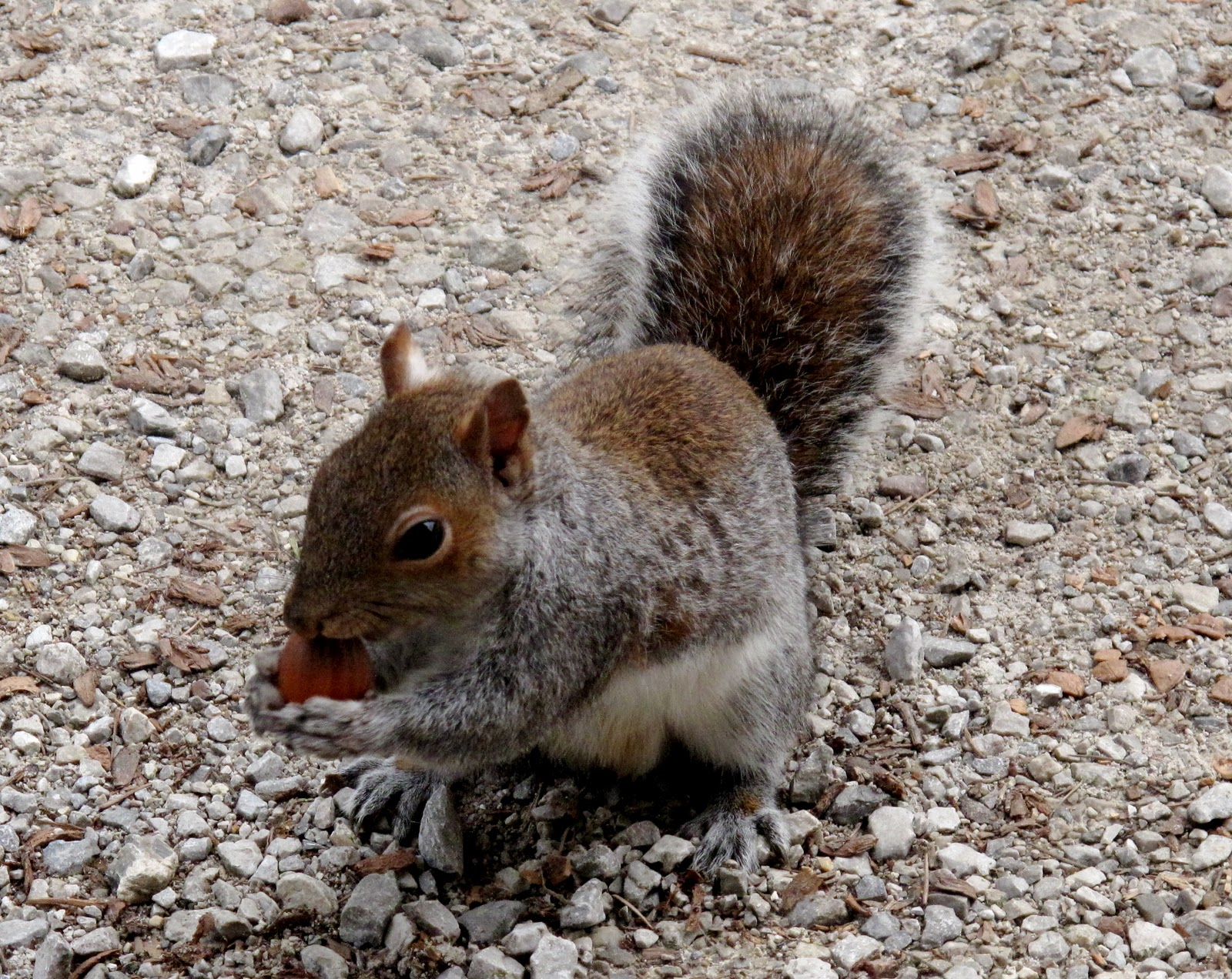 Pivoines et macarons corylus avellana noisetier - Quand tailler un noisetier ...
