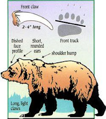 BROWN BEAR: Grizzly