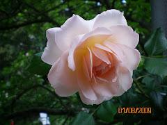 Rose/pembe gül