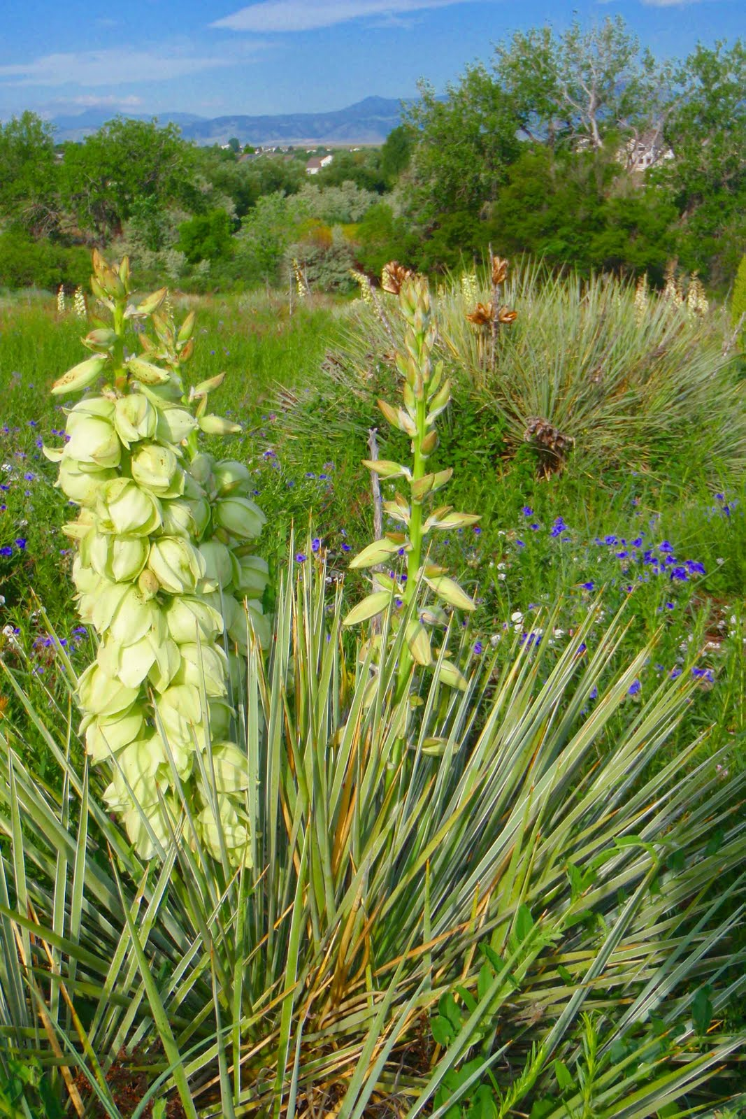 Wild about yucca flowers for Yucca plante