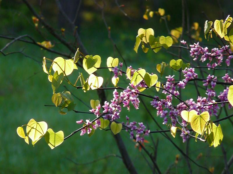 Eastern Redbud in Virginia