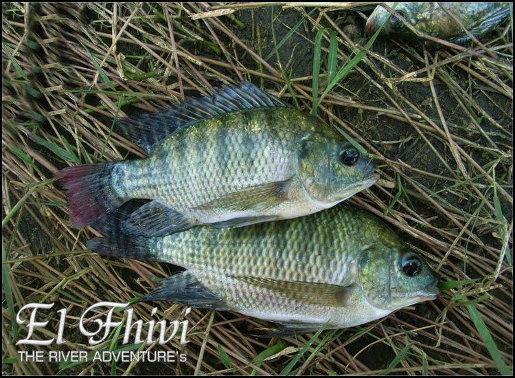 Ikan Nila Gajahmungkur (Oreochromis Niloticus)