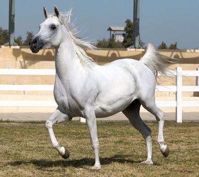 arabian horse wallpaper. BEAUTY OF ARABIAN HORSE