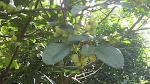 Family: Sterculiaceae