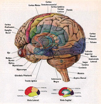 Imagenes del cerebro y sus partes
